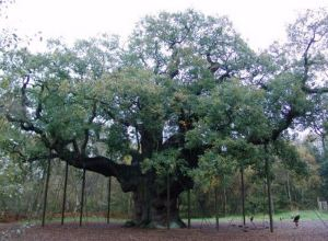 The Major Oak, Sherwood Forest